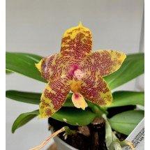 """Phalaenopsis Yaphon Green Canary x KTC Khao Khitchakut """"65"""""""