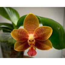 "Phalaenopsis corningiana x Dragon Tree DT 168  ""Brown limited edition"""