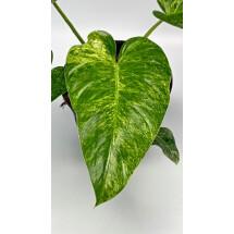 Philodendron Giganteum Less Variegata