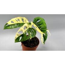 Monstera adansonii variegated Albo ''Half Moon'' (5/6 + Leaves)
