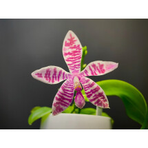 Phalaenopsis (lueddemanniana x violacea) x speciosa red