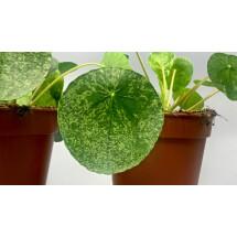 Pilea Peperomioides variegata (Moijto)