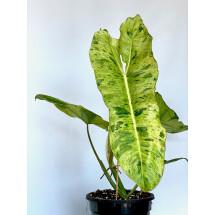 Philodendron Paraiso Verde ''Big Plant, 6 leaves''
