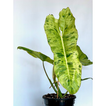 Philodendron Paraiso Verde ''2-3 leaves'' import cutting