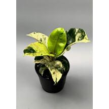 "Ficus Moonshine Variegata ""Shivereana"""