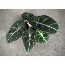 "Alocasia reginula ""Black Dragon"""