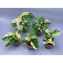 Monstera adansonii variegated Albo (3/4 + Leaves)