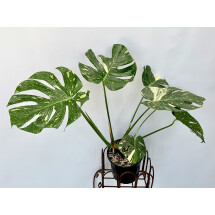 Monstera Thai Constellation 15 cm