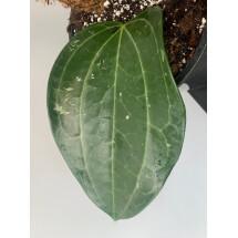 Hoya Latifolia ''Big Leaf''