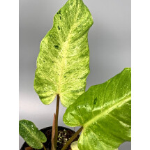 Philodendron Snowdrift