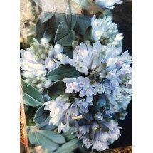 Dendrobium leucocyanum