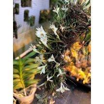 Dendrobium masarangense