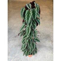 """Cissus discolor """"Big Plant"""""""