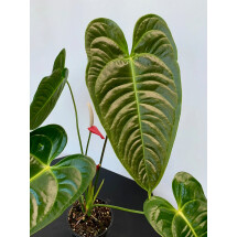 Anthurium veitchii hybride  ''Big Plant''