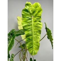 Philodendron Paraiso Verde ''Big Plant, 6/7 leaves''