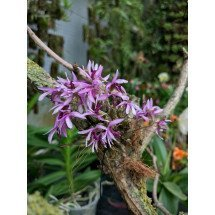 Dendrobium laterale