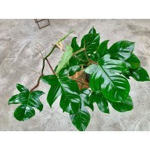 """Philodendron squamiferum """"Big Plant"""""""