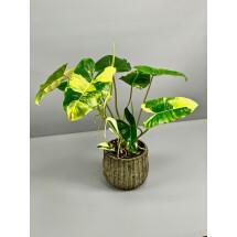 Philodendron Burle Marx Variegata (Big Plant)