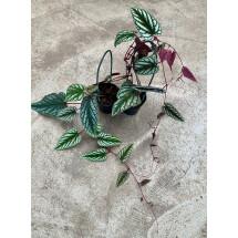 Cissus discolor (Small Plant)
