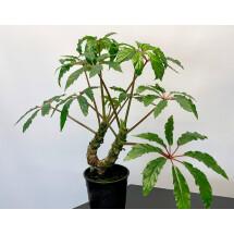 Begonia highlander
