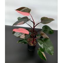 Philodendron Pink Princess '' Half Moon ''