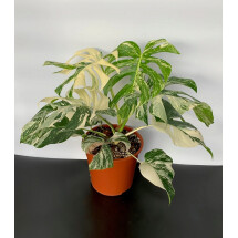 "Monstera Variegata ""large leaves (6 a 8 laeves)"""