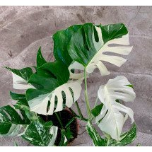 Monstera Variegata (limited selection Half Green, Half White Leaves)