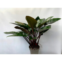 Philodendron Red Beauty ''Big Plant''