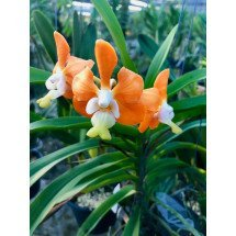 Vanda denisoniana var. Orange