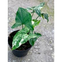 Syngonium podophyllum variegata (4 levens)