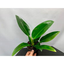 "Philodendron "" Green Fatboy"""