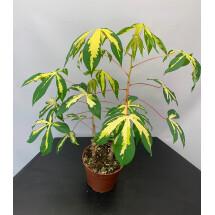 Manihot esculenta  (small plant)