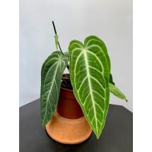 Anthurium villenaorum (Small Plant)