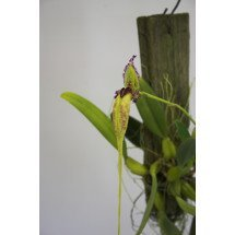 Bulbophyllum (Mastigion) fascinator var. semi alba