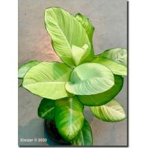 Dieffenbachia 'Tropic Marianne'