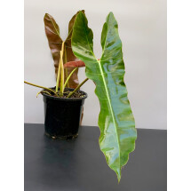 Philodendron Atabapoense ''Big leaves''  (Large plant)