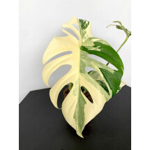 Monstera deliciosa Variegata ''Half Moon''
