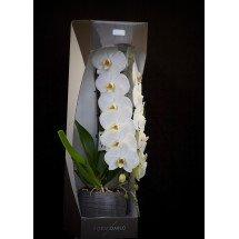 Phalaenopsis Formidablo No.1 (Big Flower) (Met keramiek grijze pot)