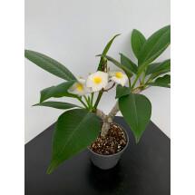 Plumeria rubra ''Haw Aiian''