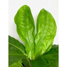Cyclanthus bipartitus ''split tongue''