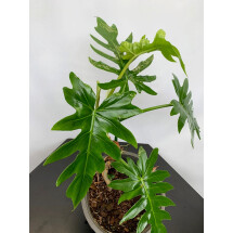 Philodendron mayoi (Small Plant)