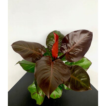 "Philodendron ""Cherry Red"""