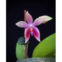 Phalaenopsis bellina alba x tetraspis