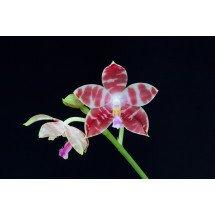 Phalaenopsis amabilis x tetraspis C1