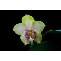 Phalaenopsis Yaphon Green Canary x KTC Khao Khitchakut
