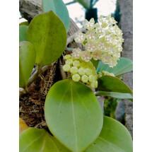 """Hoya Pachyclada ''White"""" Big Leaves"""