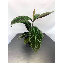 Ardisia gigantifolia ''Silver''