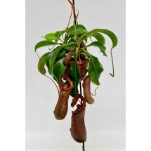 "Nepenthes St. Pacificus (x ventricosa x insignis) ""Big Plant"""