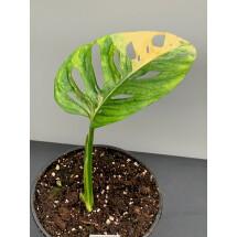 Monstera adansonii variegated aurea nr 2 (bald stek, met wortels)