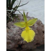 Oncidium calochilum